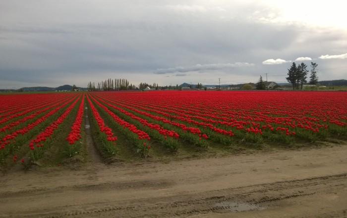 Skagit Valley tulip